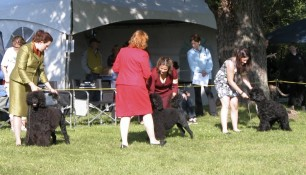 Nash, first in line, at Winners Dog class, 12-18 winner with Kim Wendling handling