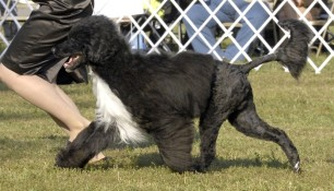 Saras and Kim gaiting. Notice the nice wide matching Vs of Saras front and rear legs. This is what you are looking for in a nice side-gait of a well structured dog
