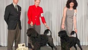 Schooner Best of Breed, Tikka Best of Opposite, Burlington KC Show, Judge Martin Dougherty, Handlers Allison Alexander and Sarah Drake