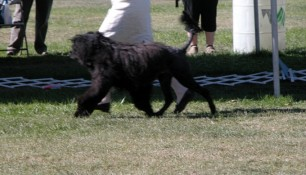 Schooner, on the move with Molly. Schooner made 2 cuts down to the last 25 dogs in the ring. Not bad for an old boy
