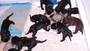 The pups eat in the whelping box in two flying saucer pans. They wear a lot of the food and mom helps clean up