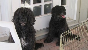 Dad Schooner and Mom Ruby watching over the pups