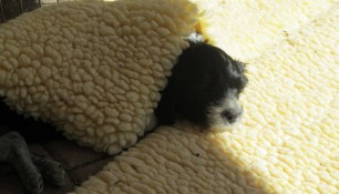 Pups May 15 a